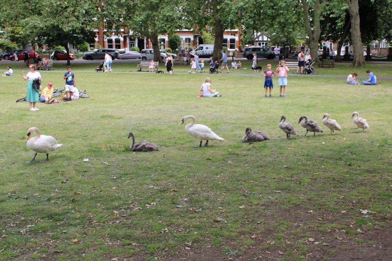 family of swans on barnes green